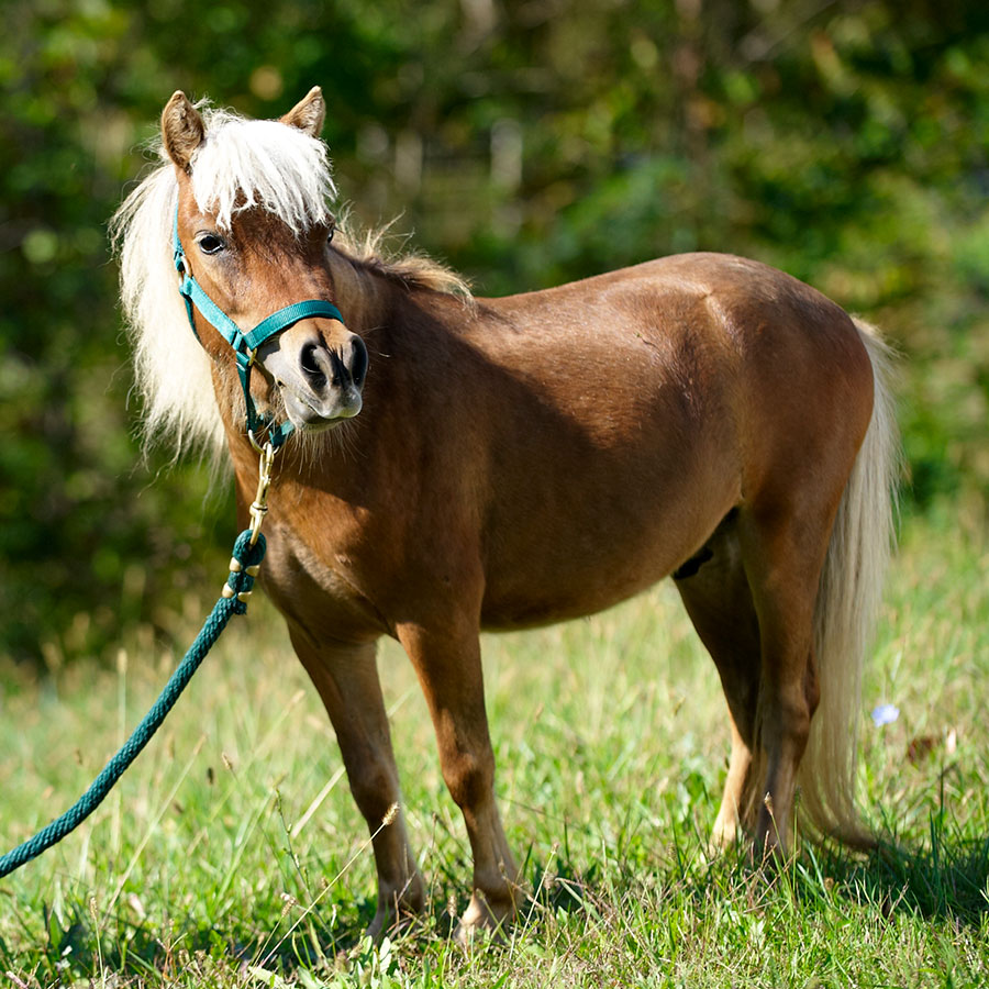 Ritz is a miniature horse available for sponsorship at Longmeadow Rescue Ranch