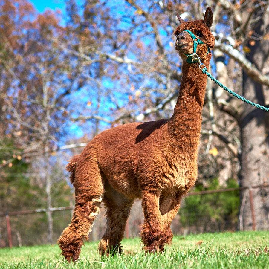 Sponsor Teagan the Alpaca at Longmeadow Rescue Ranch