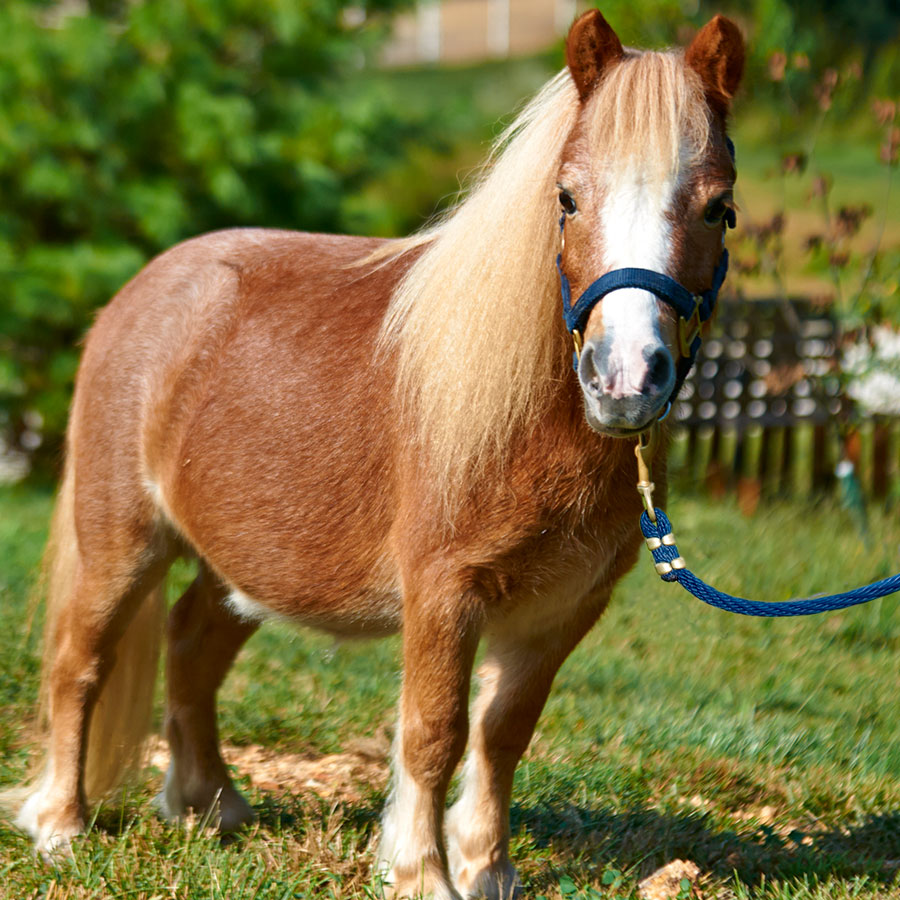 Teddy is a miniature horse available for sponsorship at Longmeadow Rescue Ranch