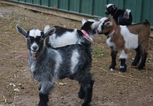 Longmeadow Welcomes 17 Baby Goats!