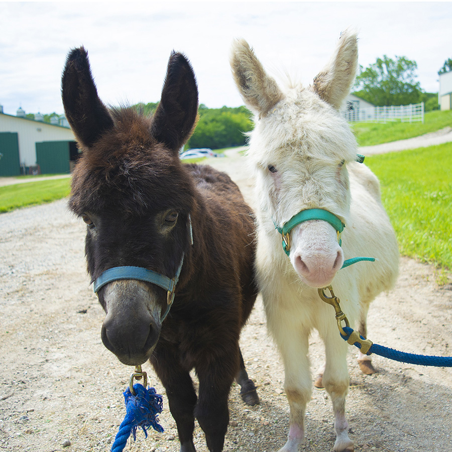 Geppetto is a miniature donkey available for sponsorship at Longmeadow Rescue Ranch