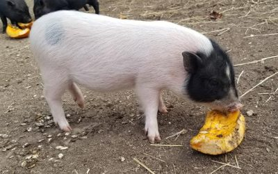 Meet the Iron County Rescue Piglets!